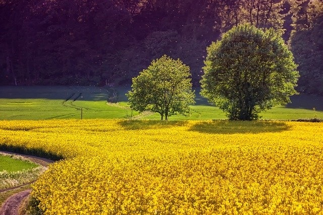 Rapeseed and Agricultural Commodities